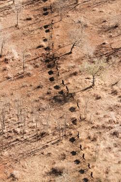 Aerial Wildebeest