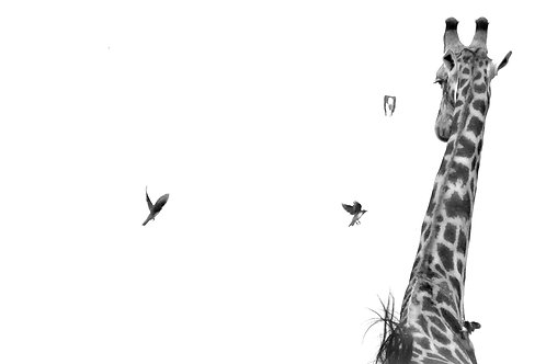 Giraffe Flutter