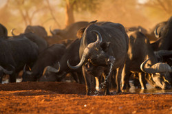Buffalo At  A Sunset Waterhole
