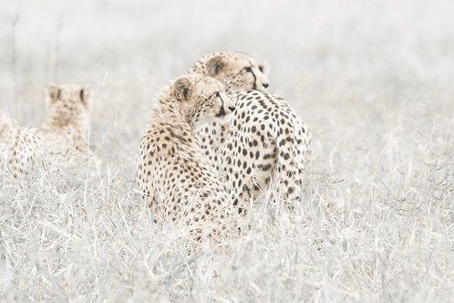Ever Searching Cheetah