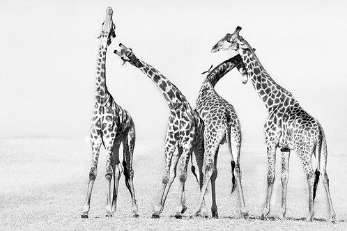 Standby Giraffe