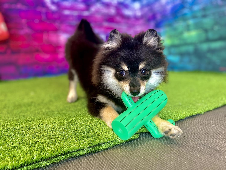 Yogi the Pomeranian