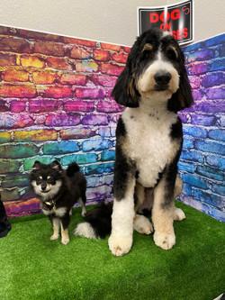Pomeranian and Bernadoodle