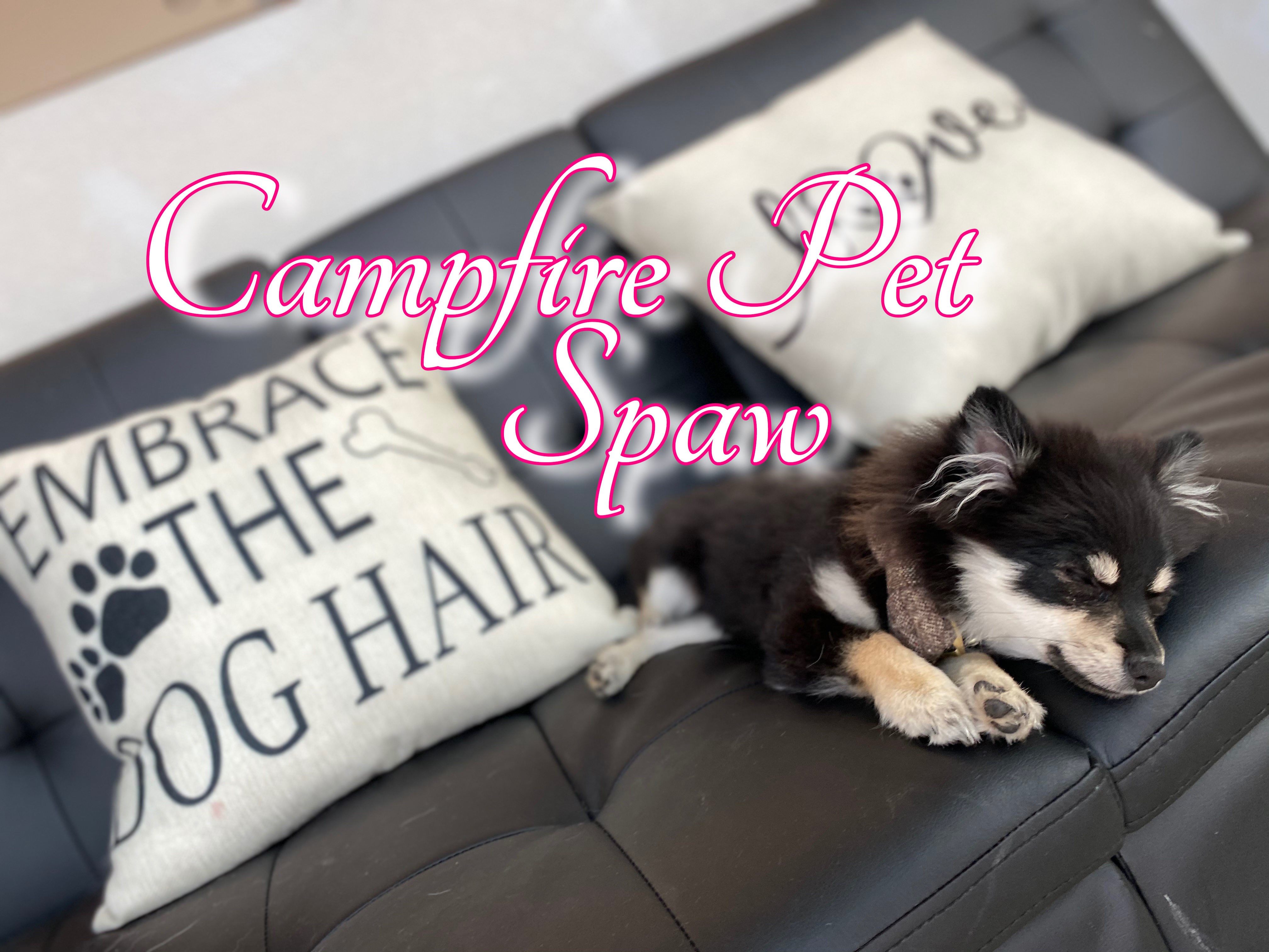 Pomeranian Passed Out