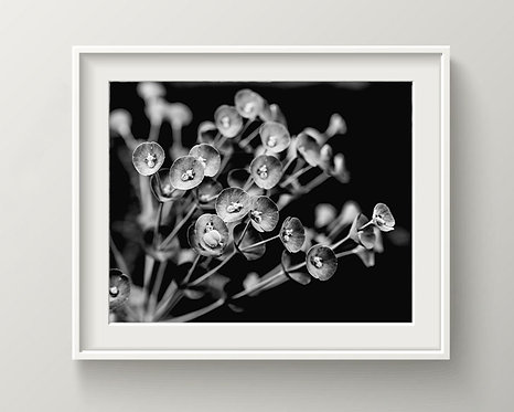 Black and White Succulent Flowers - Photography - Digital Download