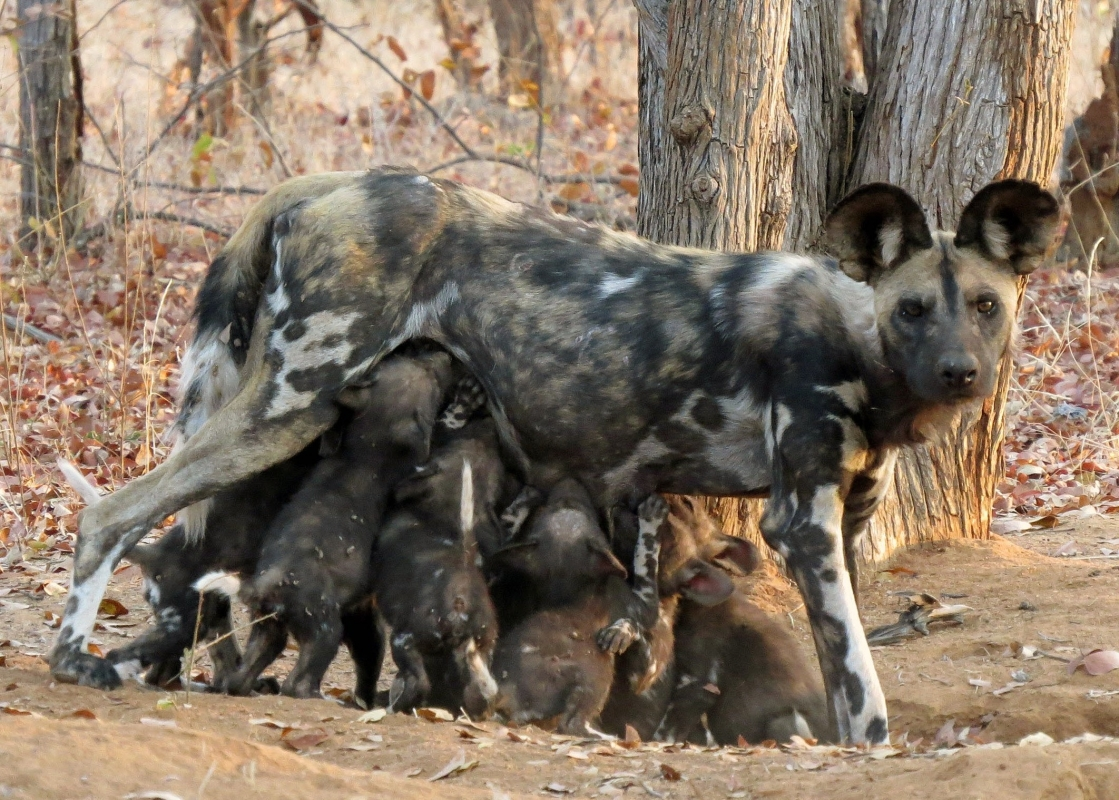 Painted Dog pups in Save Valley