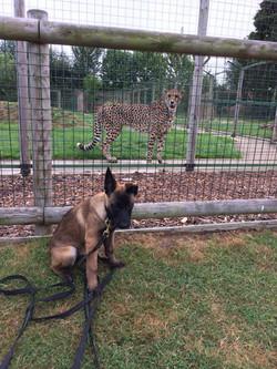 Shetani at the Big Cat Sanctuary