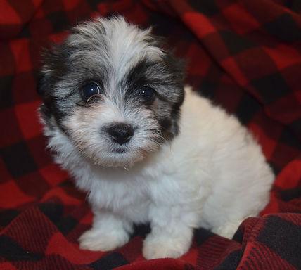 Coton de Tulear Puppy Female black white girl