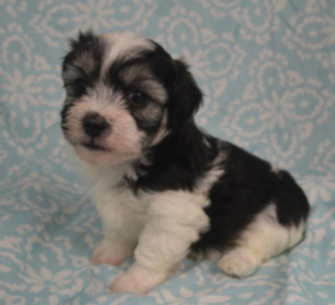 black white male coton de tulear puppy for sale puppies