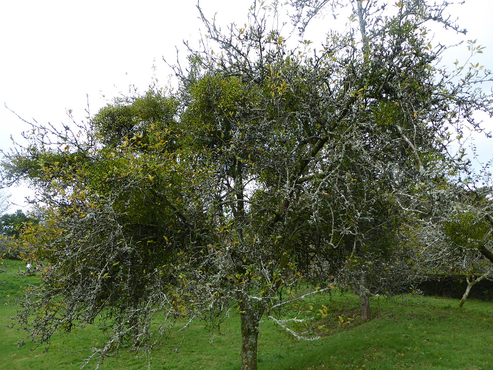 リンゴの木にはミスルト―が一杯