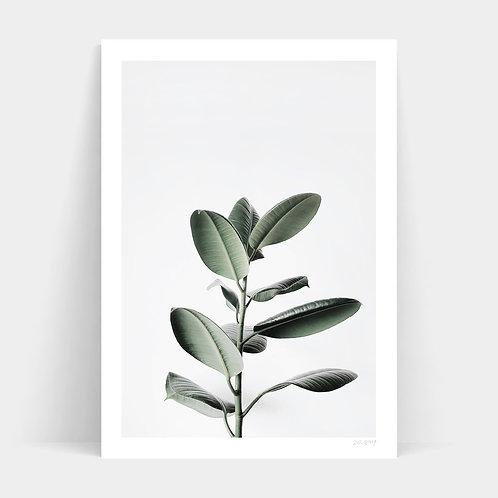A1 Print - Ficus