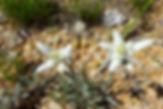 Ruta de l'Edelweiss, la flor de neu