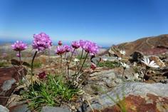 Flors d'alta muntanya a la Pica d'Estats