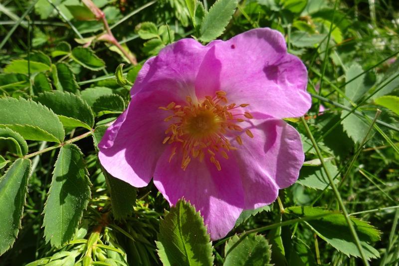 Rosa silvestre a la Cerdanya