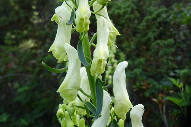 La tora pirinenca (Aconitum vulparia)
