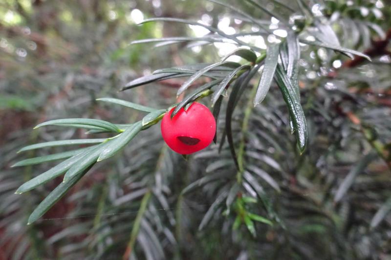 El teix (Taxus baccata)