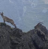 Cabres salvatges a la vall de Nyirri, Alt Pirineu, Projecte Pica d'Estats 2021