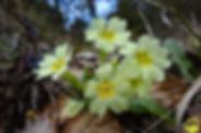 Ruta botànica de primavera al castell de Montesquiu