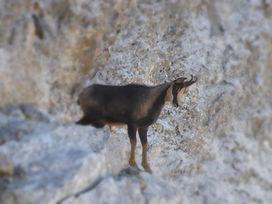 isard, la fauna de l'alta muntanya