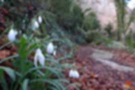 La floració dels lliris de neu