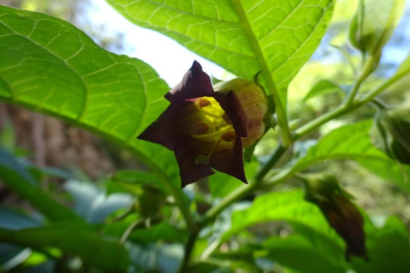 Flor de belladona (Atropa belladona)
