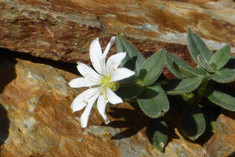 Cerastium pyrenaicum, flora d'alta muntanya