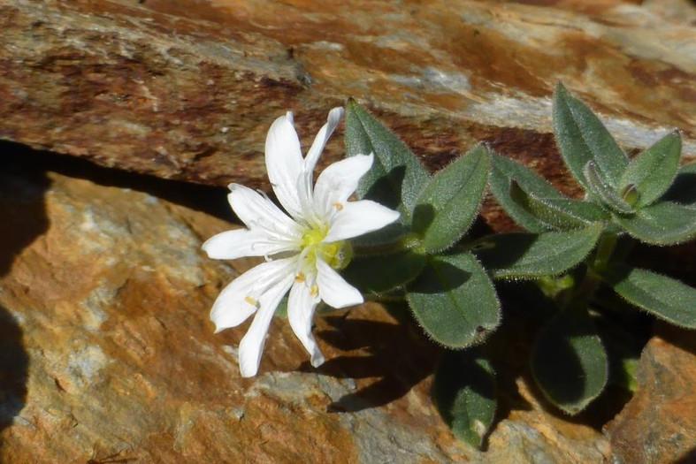 Cerastium pyrenaicum, flores de alta montaña