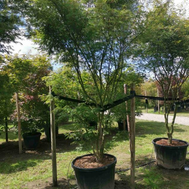 seiyru-asiatischer-ahornbaum.jpg