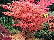 Butterfly weiss Pink Japanischer Ahorn F