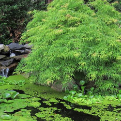 viridis japanischer Ahorn