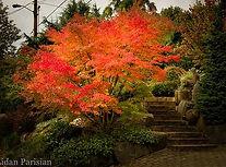 seiyru Japanischer Ahorn Fantastic Trees