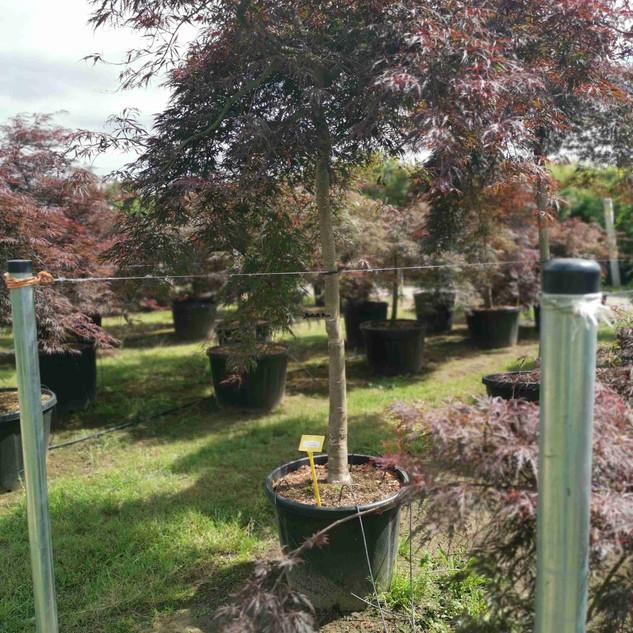 tamakuyama-ahornbaum.jpg
