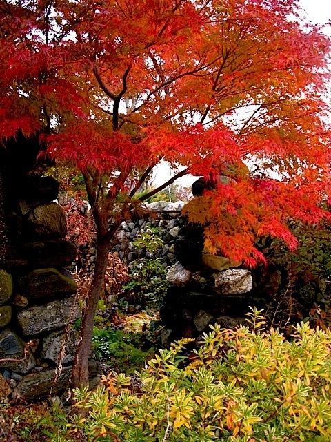 Orange Roter Ahornbaum