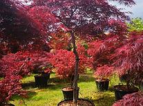 Tamakuyama Schlitzahorn fantastic Trees.