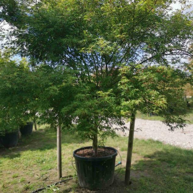 seiyru-ahornbaum.jpg