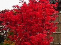 skeeters-broom japanischer ahorn schlitz