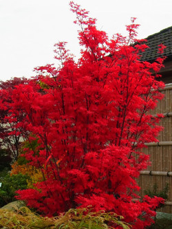 Roter Busch