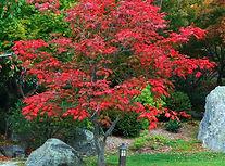 acontifolium ahornbaum