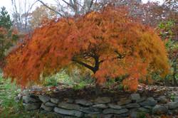 Dissectum Herbstfärbung