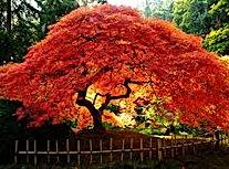 ornatum schlitzahorn fächerahorn japanis
