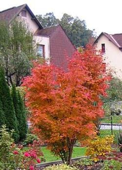 Orange Roter Ahorn