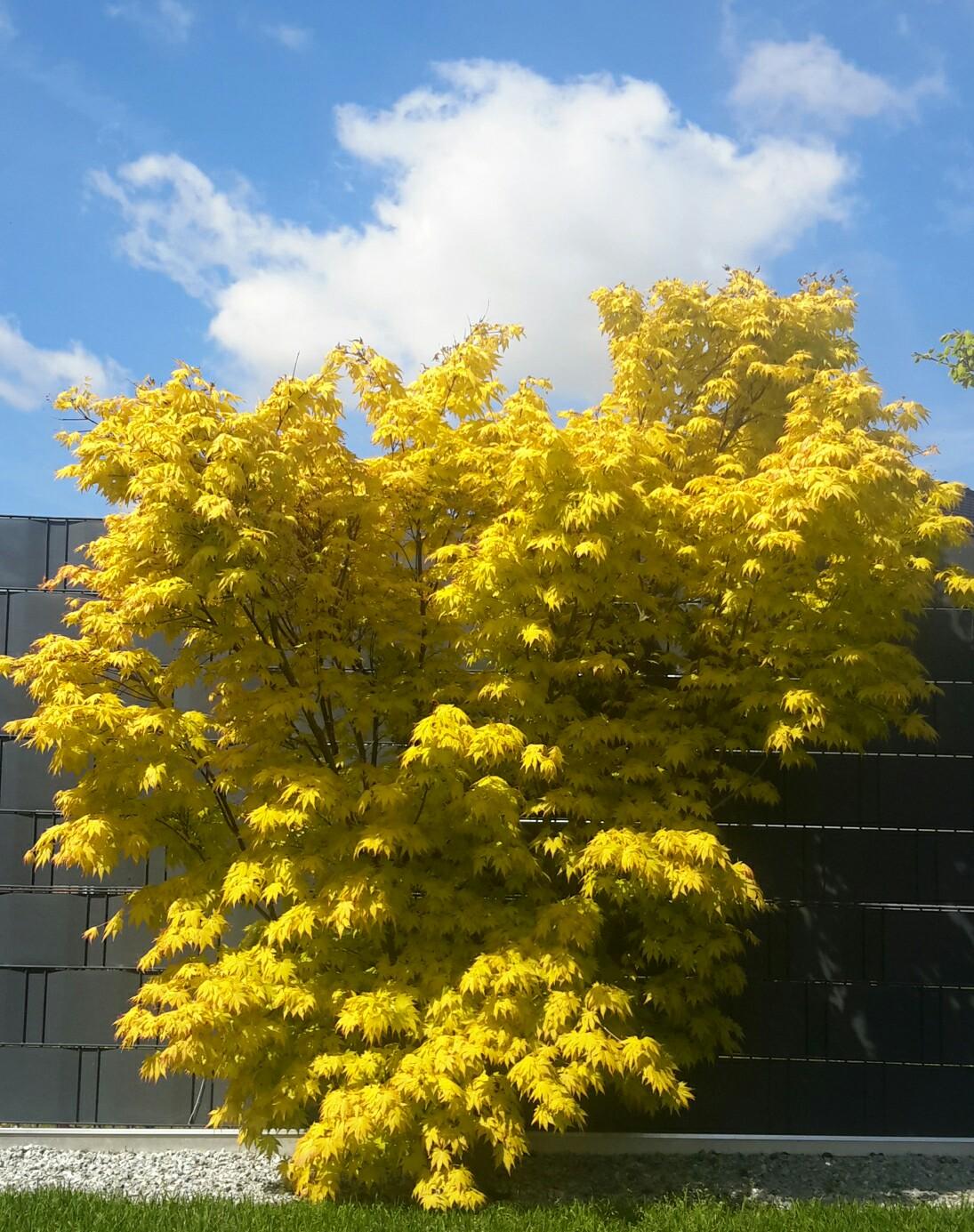 Gold Gelber Ahorn