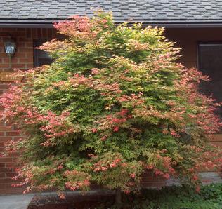 Grüner Ahornbaum