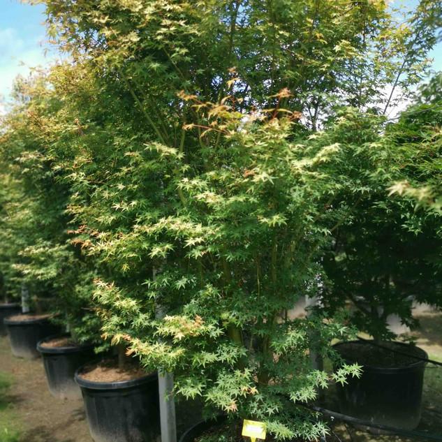 ueno-yama-ahornbaum.jpg
