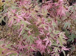 acer-butterfly