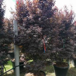 sketters-broom-roter-busch.jpg