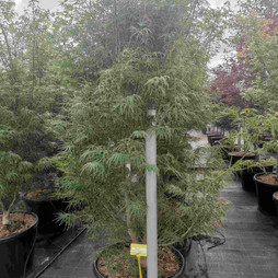 scolopendriifolium.jpg
