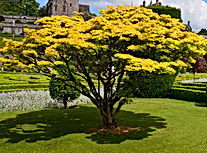 Shirasawanum Aureum Goldahorn Japanische
