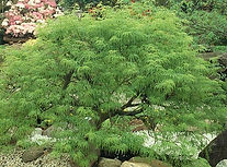 viridis schlitzahorn baum busch