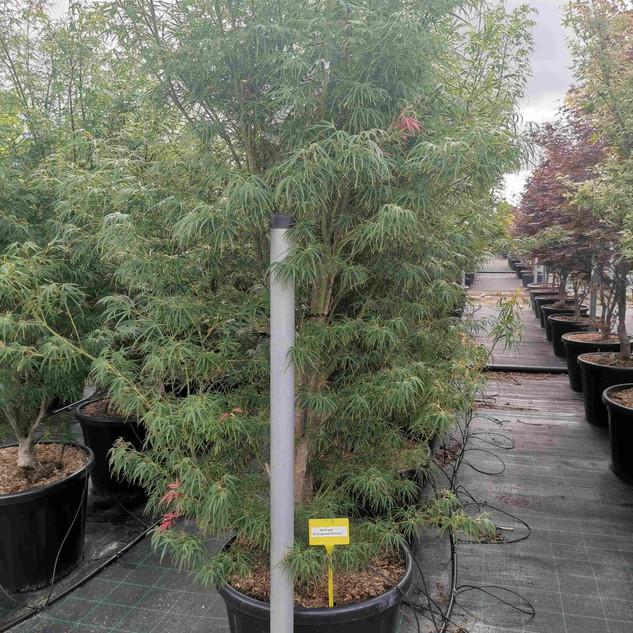 scolopendriifolium-acer.jpg